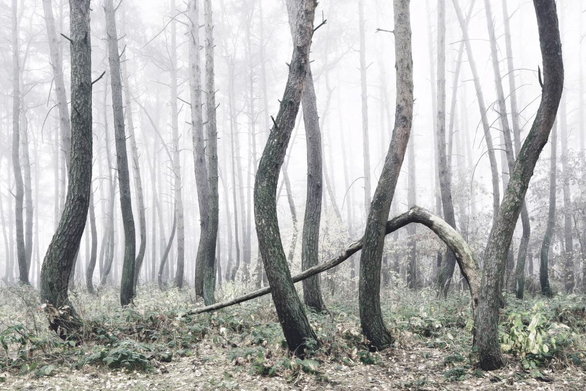 Arbre-tordu-ouest-Pomerania-Pologne4