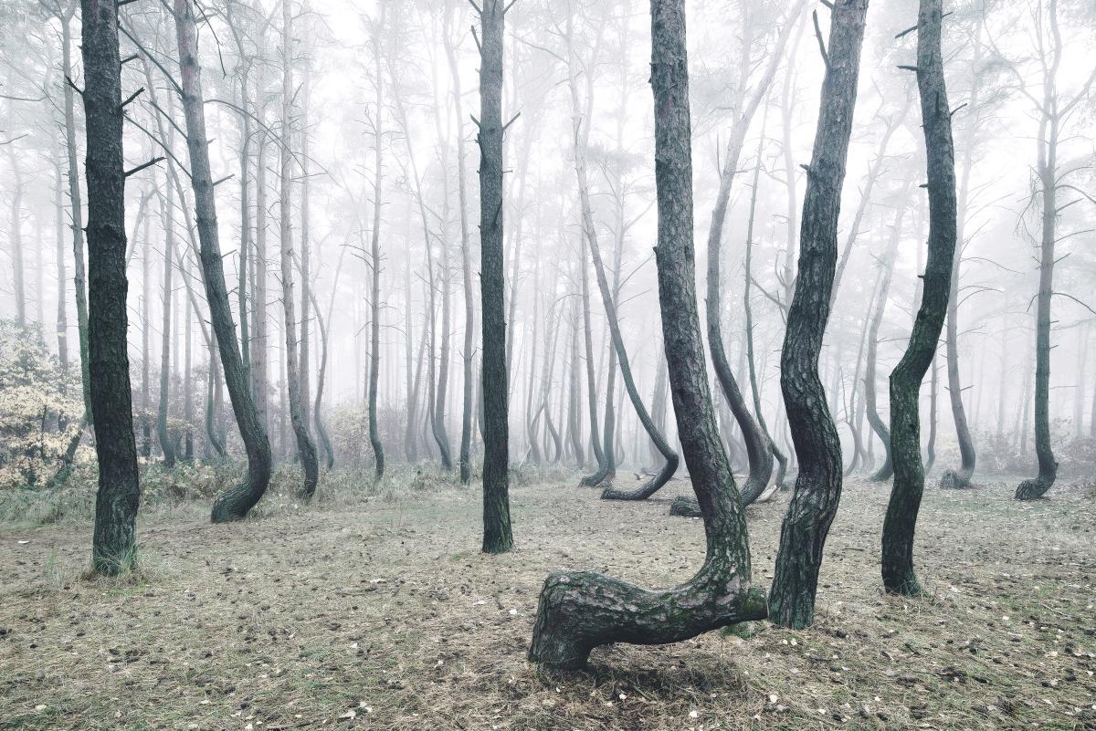 Arbre-tordu-ouest-Pomerania-Pologne5