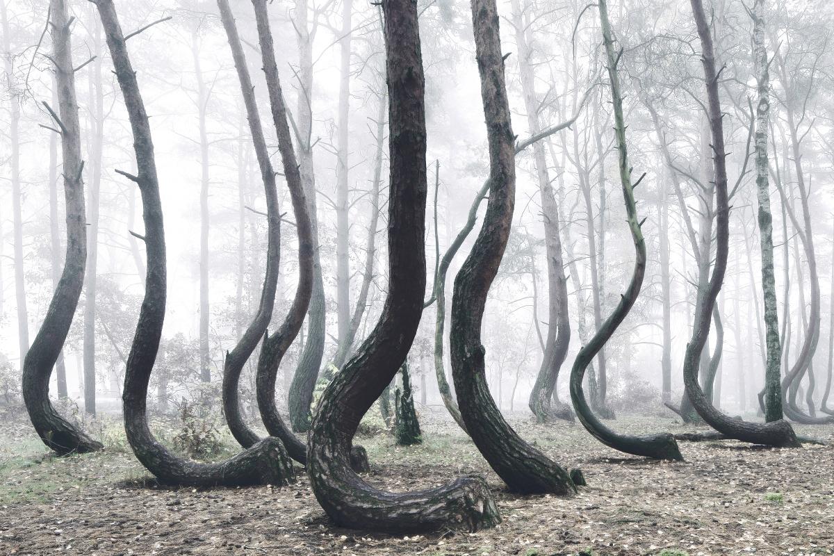 Arbre-tordu-ouest-Pomerania-Pologne6