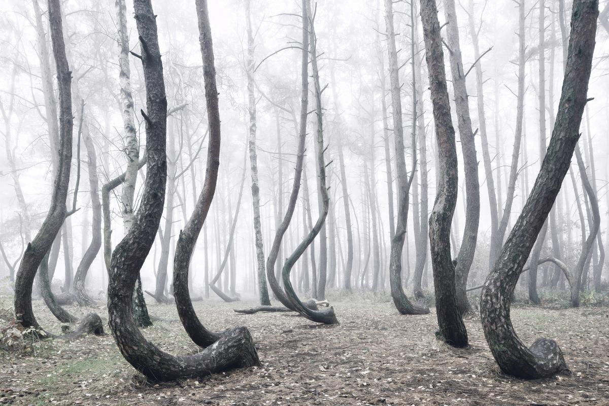 Une mystérieuse forêt d'arbre tordus en Pologne