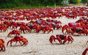 120-Million-Red-Crabs