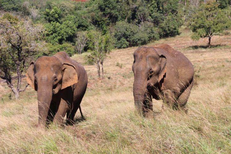 Elephants-Cambodge
