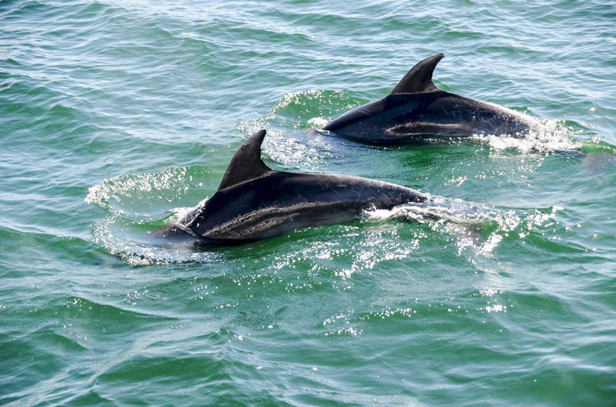 Dauphins de la baie des îles