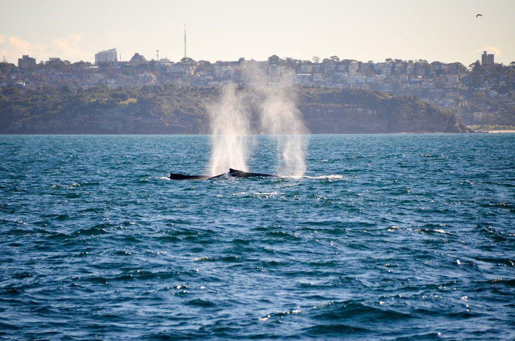 sydney-baleine