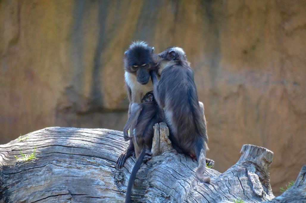 singe-bioparc-valence