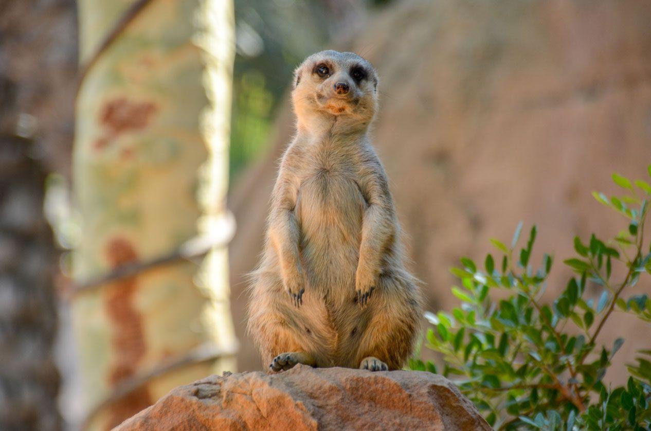 surricate-zoo-valence