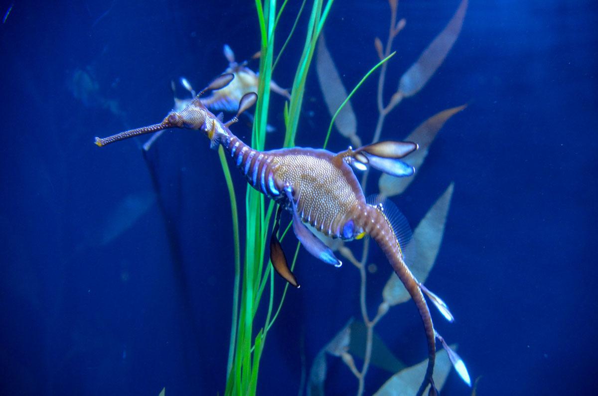 aquarium-quebec-hippocampe