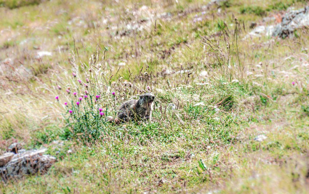 Marmotte-ecrins